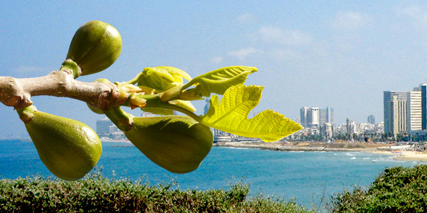 The Mystery Of Israel The Fig Tree An End Time Sign