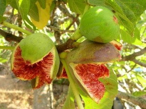 Israel the fig tree